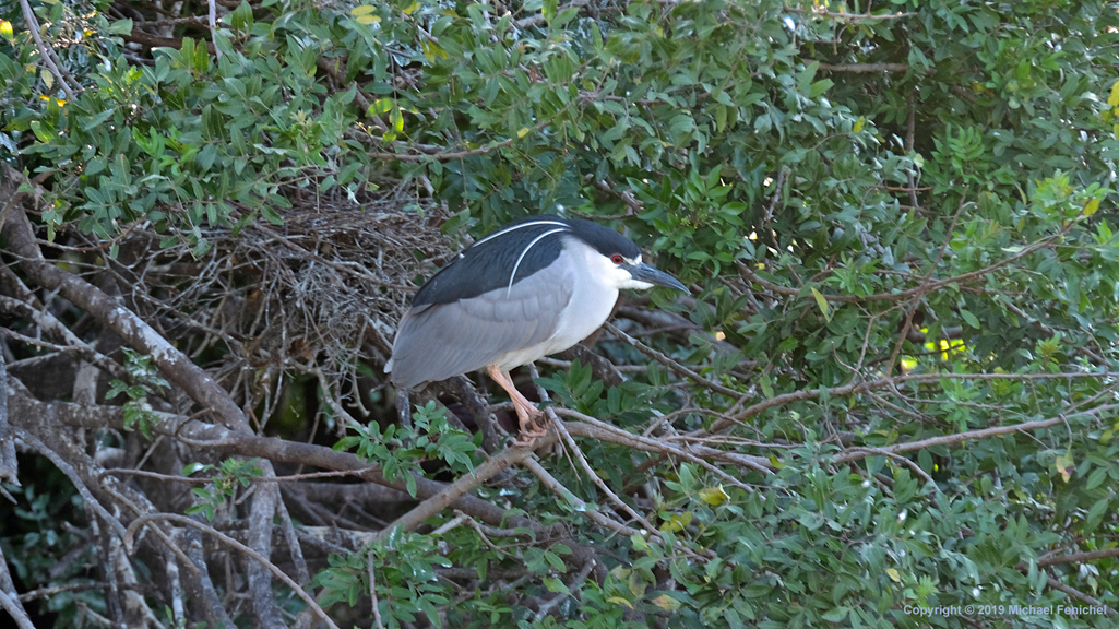 [Breeding adult black-crowned night heron]