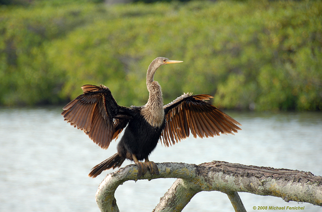 [Adult female anhinga drying her feathers]