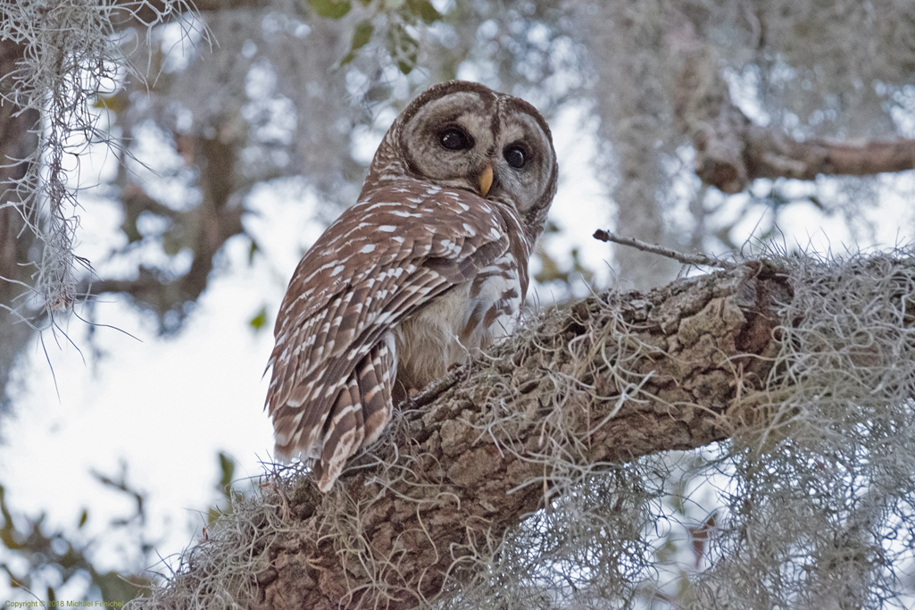 [Barred Owl]