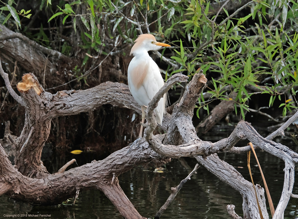 [Cattle Egret on a Tree]