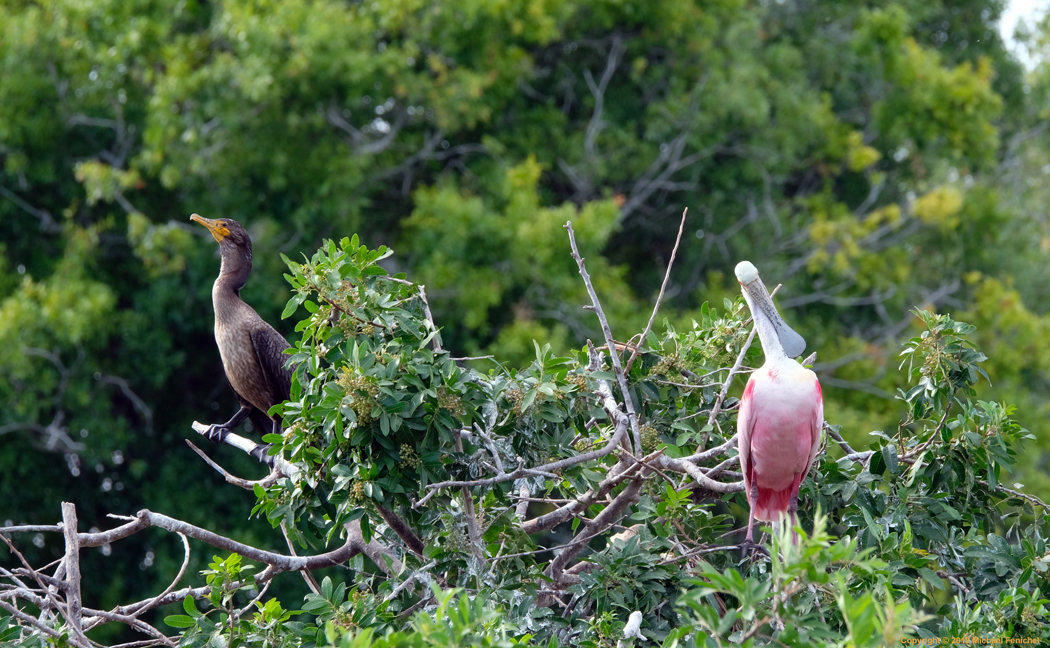 [Double-crested Cormorant and Roseate Spoonbill Atop  Rookery]
