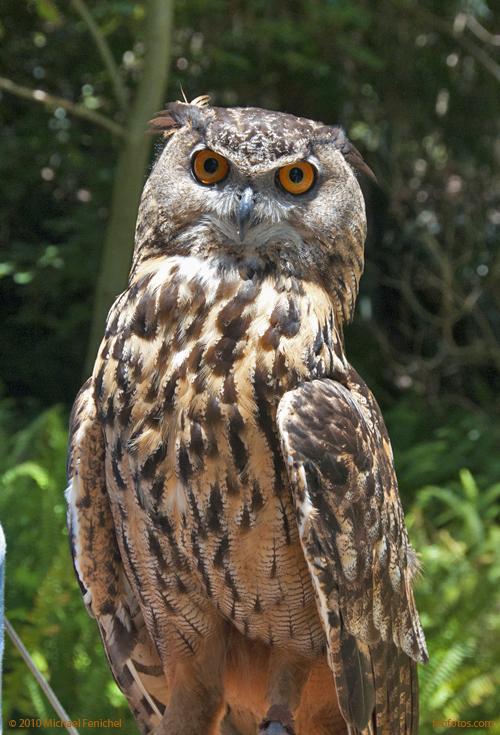 [Golden Owl]
