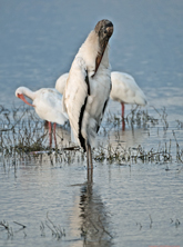 [Wood Stork]