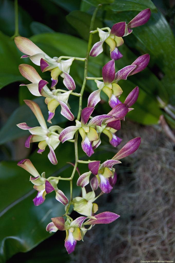 [Purple Dendrobium Orchid]